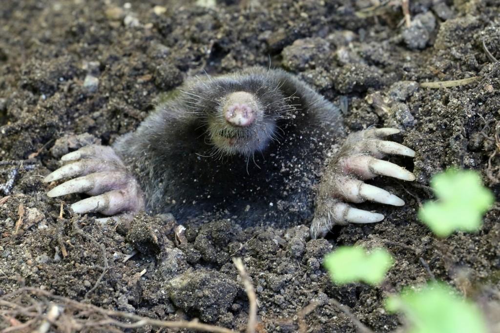 Johnson Pest Control Mole Hole